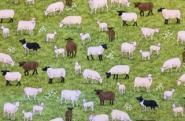 Patchworkstoff, Village life, Schafe, Schäfchen, 2291/1, Sheep, makower